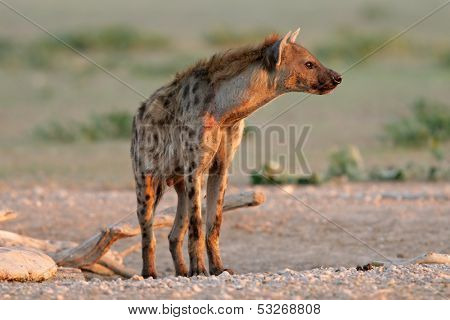 Spotted hyena (Crocuta crocuta) in early morning light, Kalahari desert, South Africa