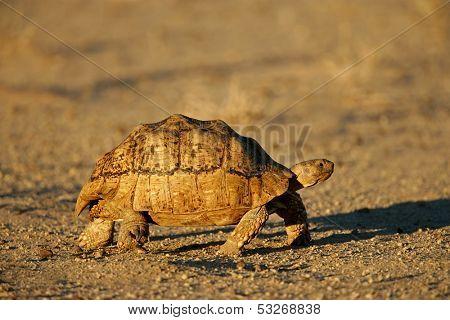 Mountain tortoise (Geochelone pardalis) , Kalahari desert, South Africa