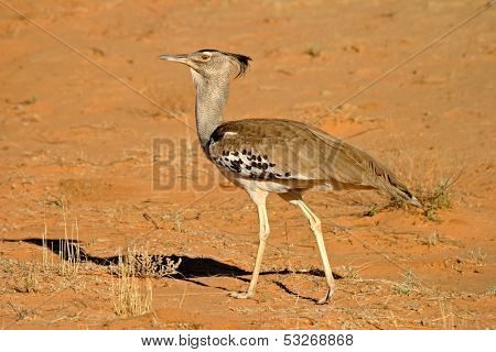 Kori bustard (Ardeotis kori) - largest flying bird in the world, Kalahari desert, South Africa