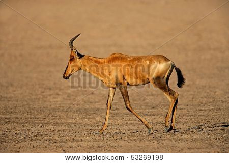 Red hartebeest (Alcelaphus buselaphus) walking, Kalahari desert, South Africa