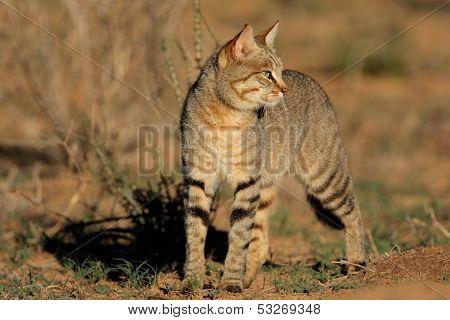 An African wild cat (Felis silvestris lybica), South Africa