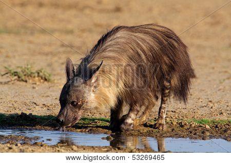 A brown hyena (Hyaena brunnea) drinking water, Kalahari, South Africa
