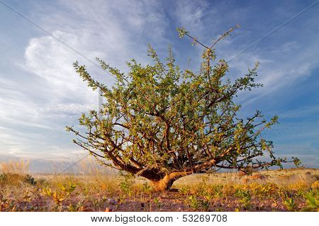 A desert plant (Commiphora spp.) against a blue sky with clouds, Namibia, southern Africa