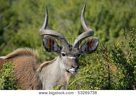A big male kudu antelope (Tragelaphus strepsiceros), South Africa