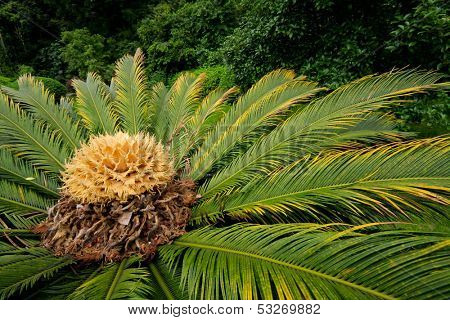 Close-up of a flowering Chinese cycad plant