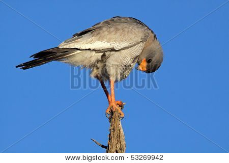 Pale Chanting goshawk (Melierax canorus) perched on a branch, South Africa