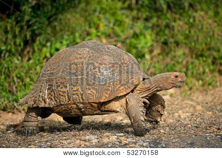 Mountain or leopard tortoise (Geochelone pardalis), South Africa