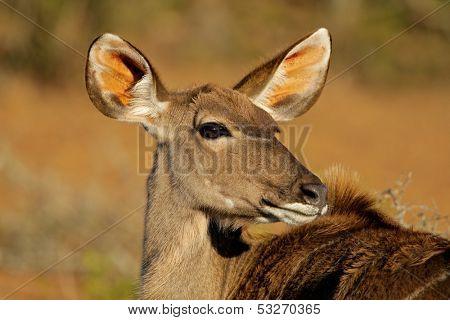 A female kudu antelope, (Tragelaphus strepsiceros), South Africa