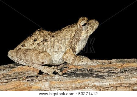 Foam nest frog (Chiromantis xerampelina) camouflaged on the bark of a tree, South Africa