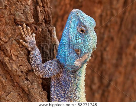 Male tree agama (Acanthocercus atricollis) in bright breeding colors, Kruger National Park, South Africa