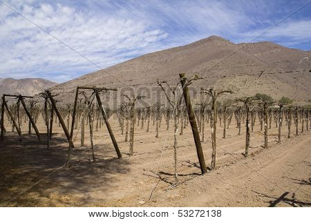 Vineyard Cultivation