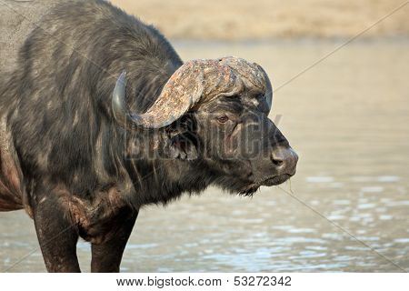 Portrait of an African or Cape buffalo (Syncerus caffer), South Africa