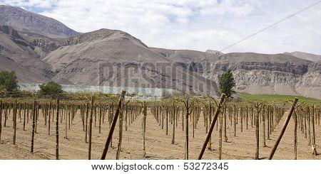 Farmland Of Vineyard
