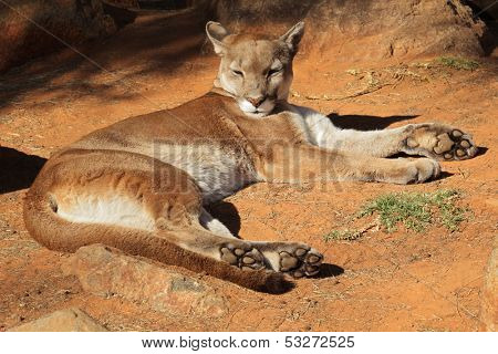A cougar (Puma concolor) also known as a puma, mountain lion or panther resting on the ground
