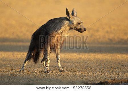 Brown hyena (Hyaena brunnea) in early morning light, Kalahari desert, South Africa