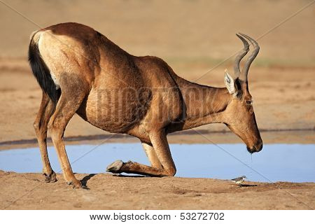 Red hartebeest (Alcelaphus buselaphus) drinking water, South Africa