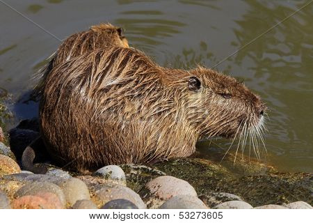 Coipo or Nutria (Myocastor coypus) feeding in shallow water, South America