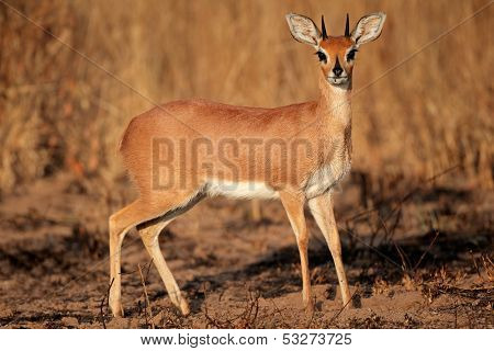 Alert male steenbok antelope (Raphicerus campestris), South Africa
