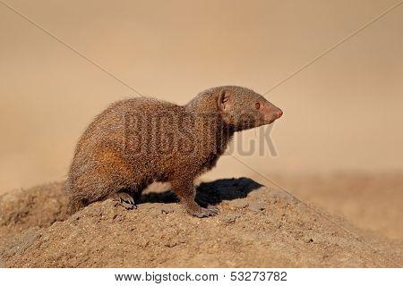 Alert dwarf mongoose (Helogale parvula), South Africa