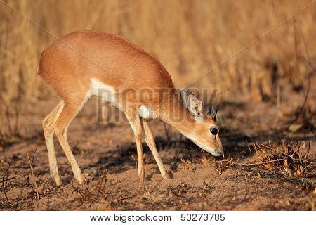 Male steenbok antelope (Raphicerus campestris), South Africa