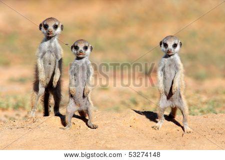 Cute meerkat babies (Suricata suricatta), Kalahari desert, South Africa