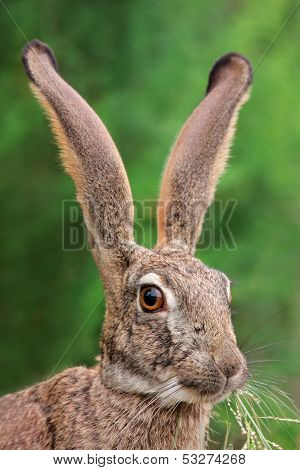 Portrait of a scrub hare (Lepus saxatilis) with long ears and large eyes, southern Africa