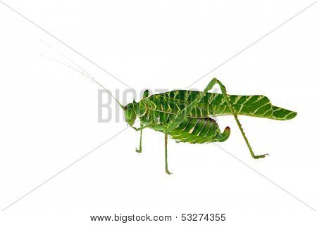 African Acacia katydid (Terpnistria zebrata) isolated on white