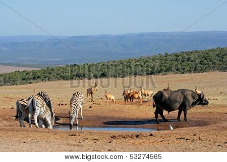 Cape buffalo, plains zebras and red hartebeest gathering at a waterhole, South Africa
