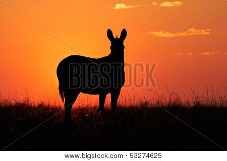 Cape Mountain Zebra (Equus zebra) silhouetted against a red sunrise, South Africa