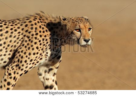 Stalking cheetah (Acinonyx jubatus), Kalahari desert, South Africa