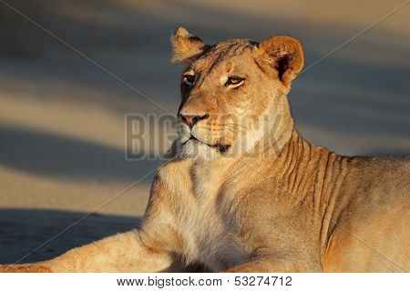 Portrait of a resting lioness (Panthera leo), Kalahari desert, South Africa