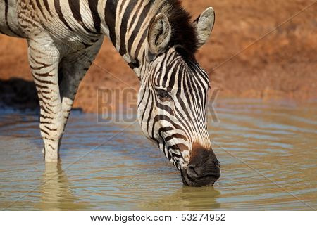 Plains (Burchells) Zebra (Equus quagga) drinking water, Mkuze game reserve, South Africa