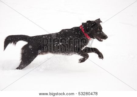 Happy black dog playing in deep snow in heavy snow fall
