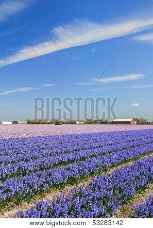 Flower Field,Lisse,Keukenhof Gardens