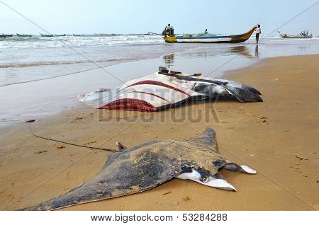 Manta Rays Which Caught By Fishermen