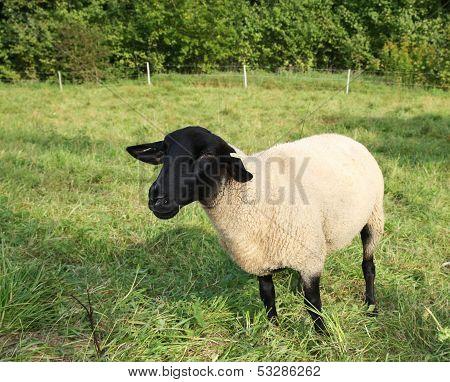 Sheep of Highland Black-faced breed