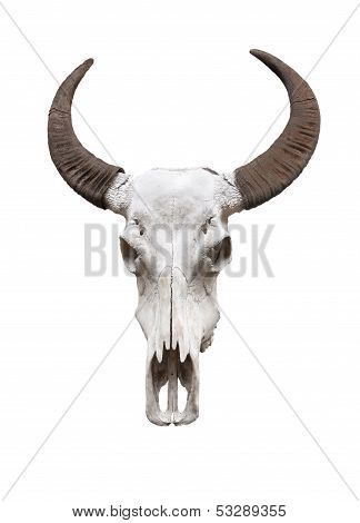 Water buffalo skull, isolated