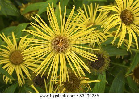 Perennial yellow daisy plant.
