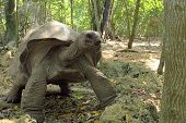 stock photo of carapace  - An Aldabra giant tortoise (Aldabrachelys gigantea) moving in the forest Zanzibar Island Tanzania