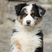 image of australian shepherd  - Adorable puppy of australian shepherd looking at you - JPG