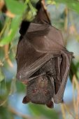 Black flying-fox (Pteropus alecto), Kakadu National Park, Northern territory, Australia
