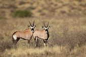 Two young Gemsbok antelopes (Oryx gazella), Kalahari desert, South Africa