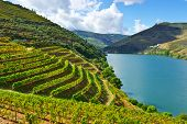 stock photo of row trees  - Vineyards in the Valley of the River Douro Portugal - JPG