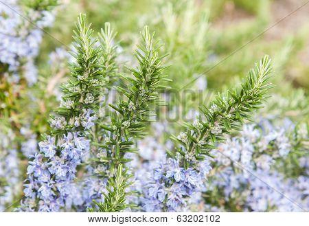 Rosemary In Flowers