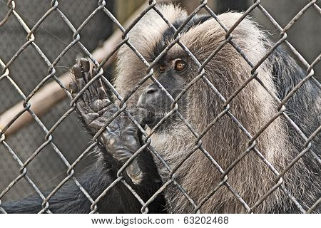 Monkey Makaki