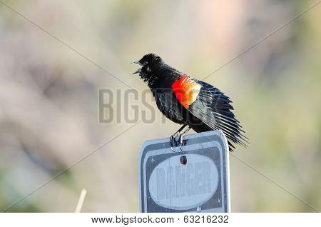 Blackbird Danger