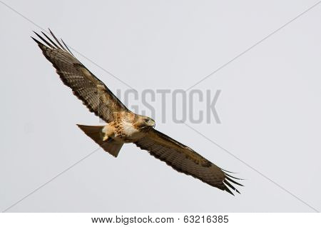 Red-tailed Hawk Flying