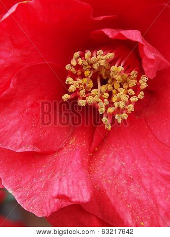 Red Camelia Close Up