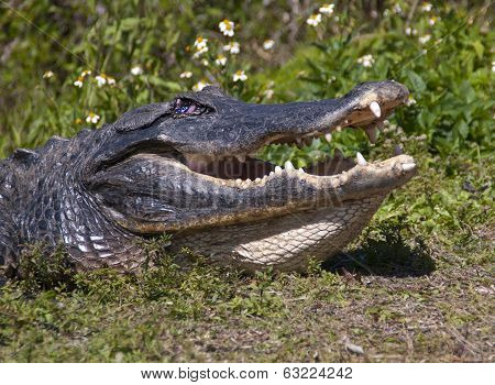 Large Aligator with Mouth Open