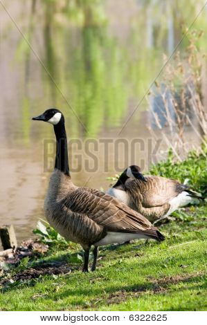 Couple Of Canada Geese At The Waterside